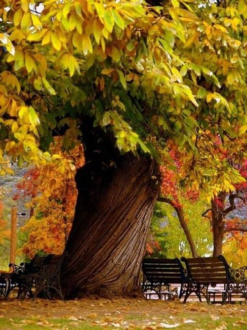 Beautiful fall tree in the park. That's a unique trunk!