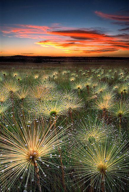 Дикие цветы /  Wildflowers, Cerrado, Mato Grosso, Brazil