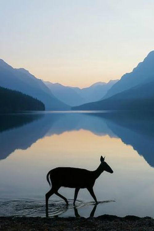 Doe at sunrise, Bowman Lake, by Kevin Lefevre