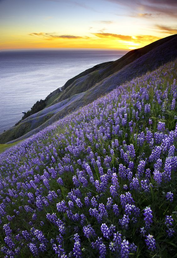Field of purple lupines in Big Sur, California, USA