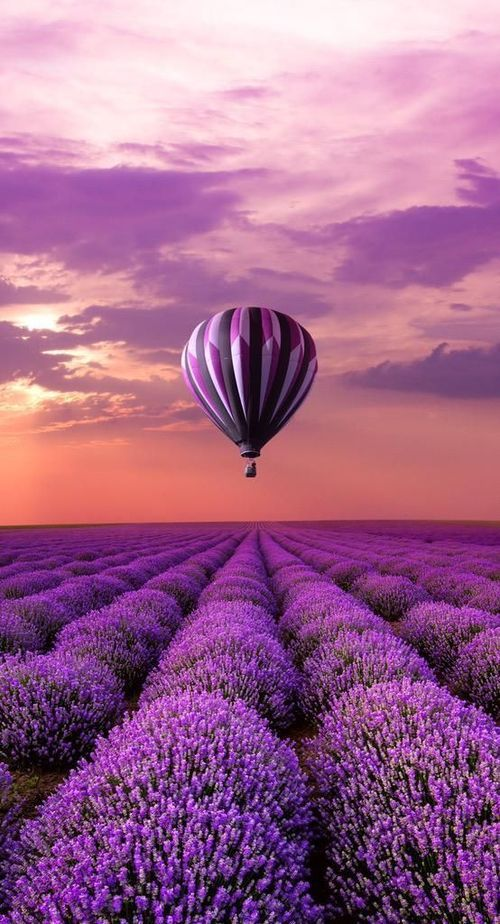 Hot Air Balloon over Lavender Field, France, Provence.