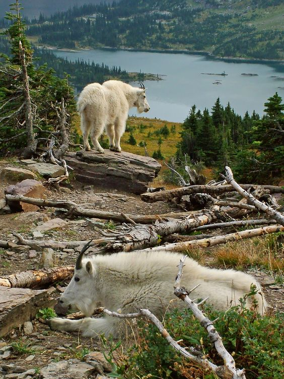 Mountain goats near Hidden Lake, Glacier National Park, Montana
