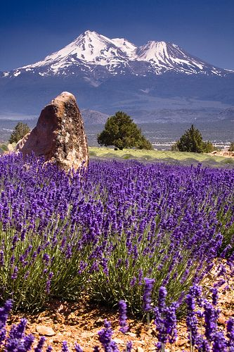 Mt Shasta, California - Lavender Farm