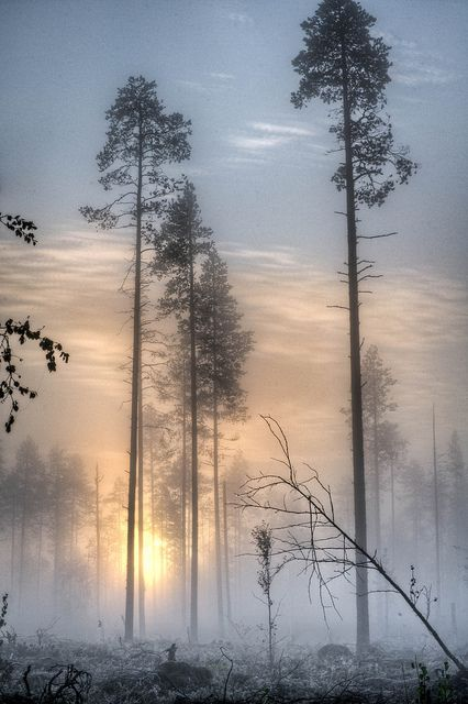 Skinny trees in the morning mist