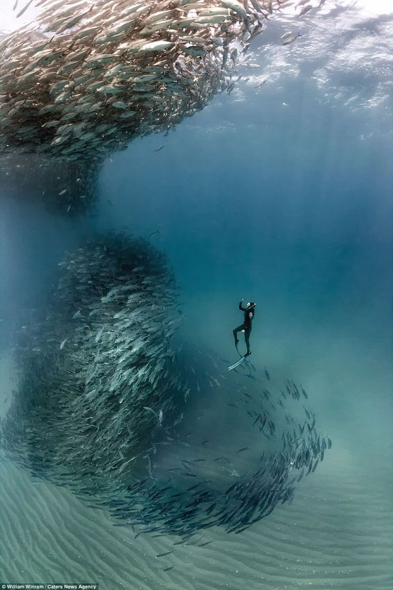 William Winrame captured the incredible moment a school of fish swarmed around him and other divers and formed a vortex (above)
