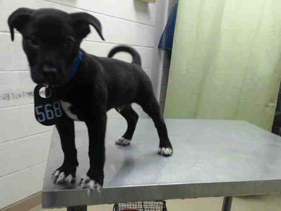 06/01/16 SUPER URGENT PUPPY TO BE DESTROYED HOUSTON TX - ADOPT PUPPY DOG - ID#A459540 I am a male, black and white Labrador Retriever and Pit Bull Terrier, I am only nine weeks old. have been at the shelter since May 20, 2016. This information was refreshed 3 minutes ago and may not represent all of the animals at the Harris County Public Health and Environmental Services.