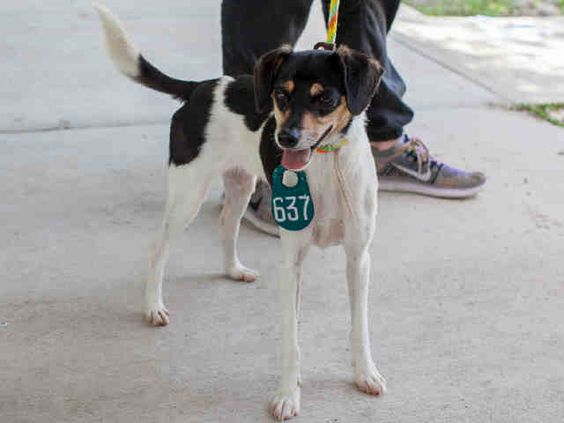 06/20/16--HOUSTON- FACILITY IS AT TRIPLE CAPACITY -EXTREMELY HIGH KILL FACILITY - LEGS - ID#A403581 I am ready to go! My name is LEGS I am a neutered male, tricolor Rat Terrier mix. The shelter staff think I am about 2 years and 4 months old. I have been at the shelter since Jun 09, 2016. This information was refreshed 47 minutes ago and may not represent all of the animals at the Harris County Public Health and Environmental Services.