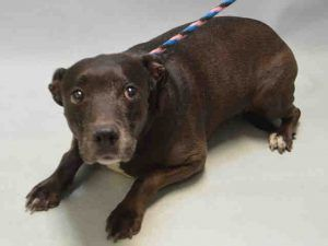 06/29/2016 STILL THERE!!! SICK SENIOR SUPER URGENT NYC RESCUE JULISSA – A1077359 FEMALE, BLACK, AM PITBULL TER, 10 years old, lost or sick abandoned pet,Intake condition GERIATRIC, this old girl has cancer and still allowed all handling, she urgently needs a rescue / sanctuary with a vet to live out her remaining  Date 06/13/2016, From NY 11208, past Due Out Date 06/16/2016