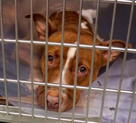 06/29/2016 SUPER URGENT ADOPT AURORA - #A1077917 - Manhattan CENTER NYC - FEMALE BROWN PIT BULL MIX 4 YEARS OLD, STRAY, has a cut on her leg so she is in the ACC part of the shelter and is at risk of being destroyed. An assessment of health and temperament is urgently required by an interested person to determine health and temperament before adoption can take place. Intake 06/18/16, past Due Out 06/21/16.