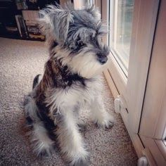 10 Interesting Facts about Miniature Schnauzer Click the picture to read