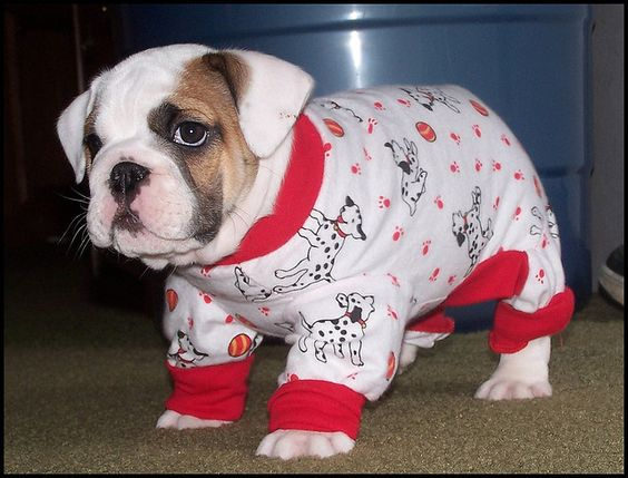101 adorable bedtime bulldog puppy wrinkles :D #dogs #clothing #costume #pets #animals #puppies #cute #bulldog #English