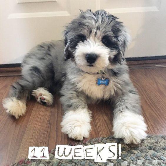 11 week old aussiedoodle puppy