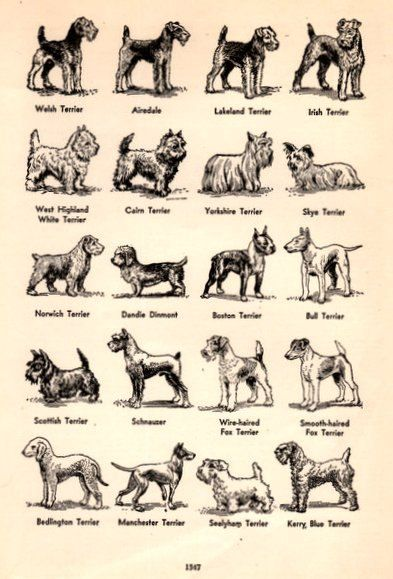 1949 Breeds of Terrier Dogs illustration by catchingcanaries, $