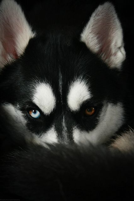 3/52 - Those  by Arctic Blue Huskies on Flickr.