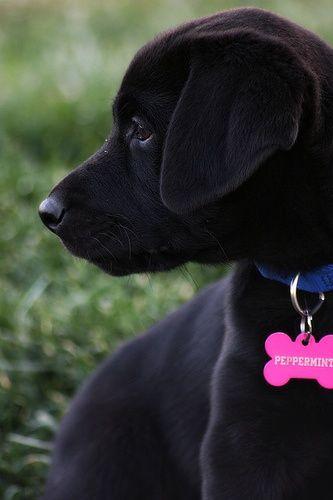 5 Reasons why Labrador Retrievers make good family pets :)
