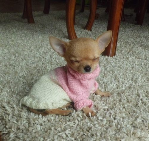 A baby chihuahua wearing a pink and white knit sweater.