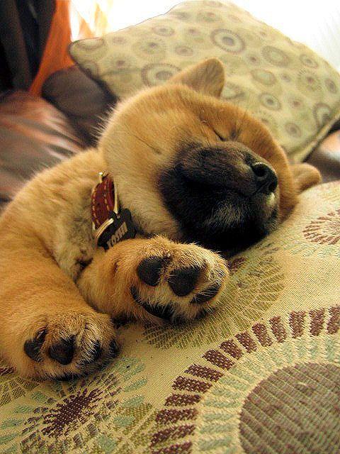 A Baby Shiba Inu