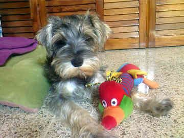 A Miniature Schnauzer generally plays nicely with other dogs - he is not among those terriers who cannot play nicely with others.