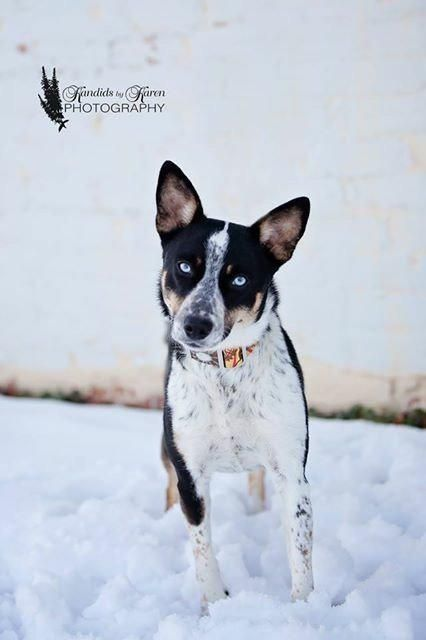 Abby is an adoptable Australian Cattle Dog (Blue Heeler) searching for a forever family near Valparaiso, IN. Use Petfinder to find adoptable pets in your area.
