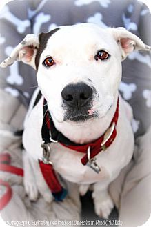 Adoptable Dog: Pippy - Pit Bull Terrier Mix (Phoenix, AZ) #dog #rescue #adoption #pets #animals