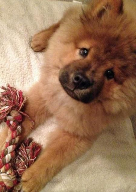 adorable chow chow