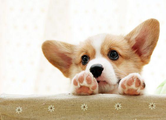 adorable Corgi puppy Z