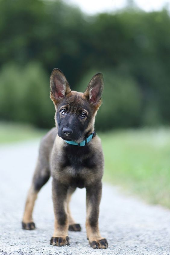 Adorable German Shepherd Pup! Repin & Like. Thank you . Listen to Noel songs. Noelito Flow.