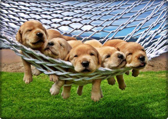 Adorable Golden Retriever Yellow Lab Puppies