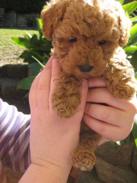 ADORABLE MOODLE PUPPIES TOY POODLE X MALTESE