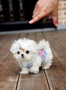 Adorable teacup Maltese puppy.