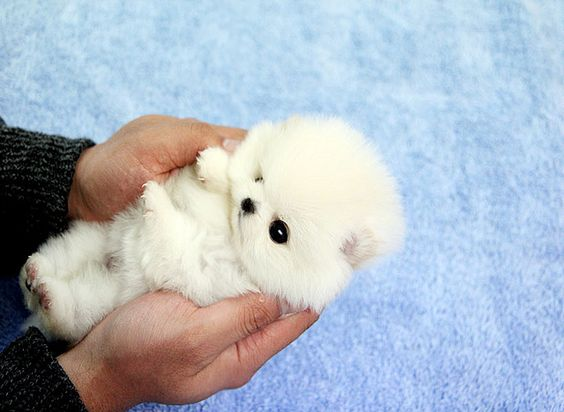 Adorable teacup pomeranian im in love!! OMG I NEED HIM/HER NOW!!!!!!!!!
