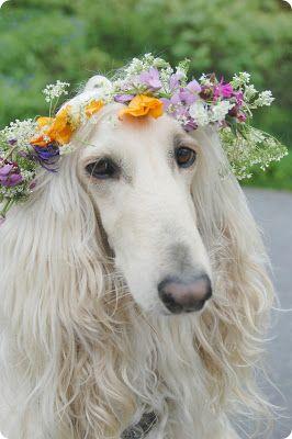 Afghan Hound #Dog #Puppy #Hound #Chien #Perro #hond #hund #Cane #Koira #Dogs #Puppies #Pup #Pooch