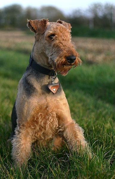 Airedale Terrier -the best All around wonderful dog, Healthy, Loving, loyal, Smart, sweet, I can keep going but you get the idea THEY ARE WONDERFUL
