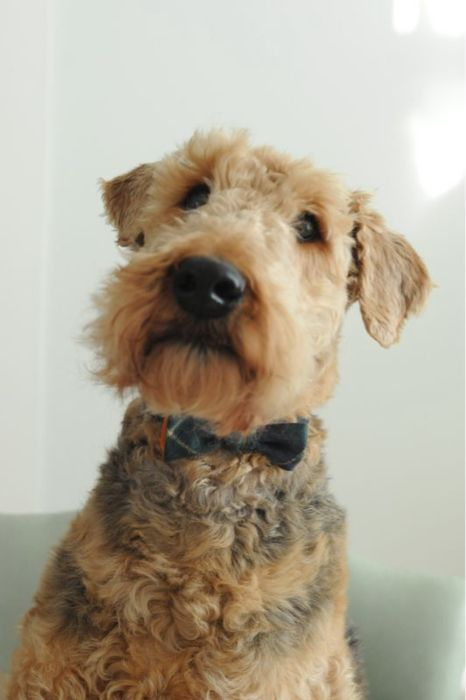 Airedales Terrier
