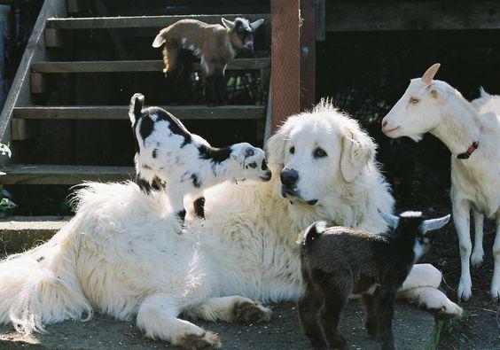 akbash/great pyr mix watching goats