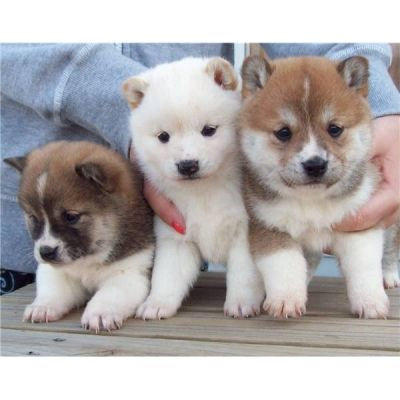 Akita Inu puppies for sale at  shiba inu puppies☀️⚠️☀️