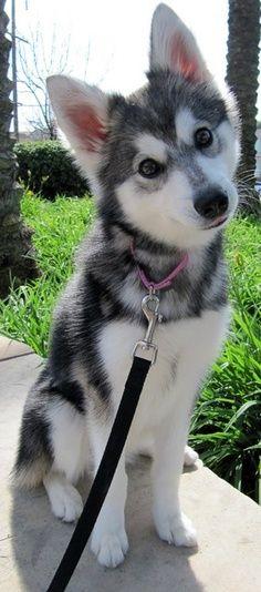 Alaskan Klee Kai, 18