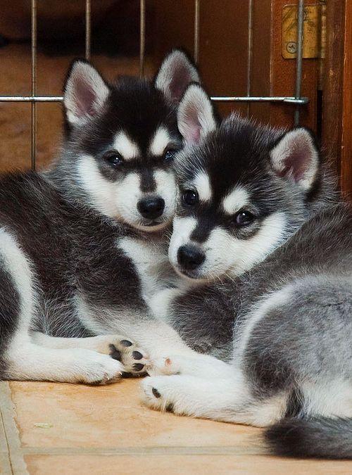 Alaskan Klee Kai Mini-Husky Sled dog. They're like huskies that stay puppy sized!!! I want one.