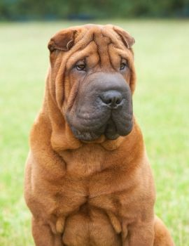 All about the Chinese Shar Pei dog breed!