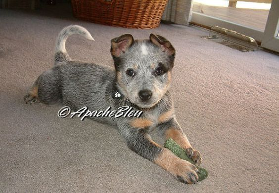 Australian Cattle Dog (ACD) or some know them as Blue Heelers. They are a breed of herding dogs for driving cattle over long distances across rough terrain. They are a very energetic and a beautiful breed of dog.