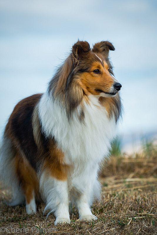 Aw! My childhood dog of nearly 15 years. Shetland Sheepdog