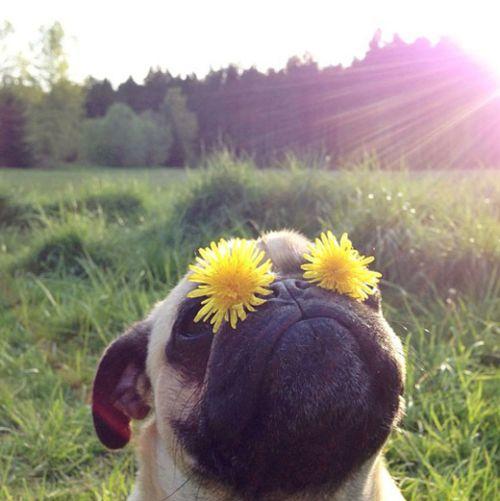 Awww adorable daisy eyed pug