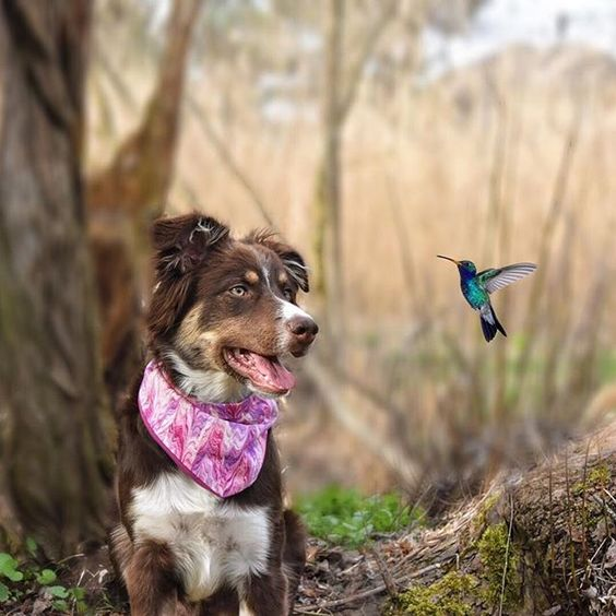Beautiful Aussie Shepherd watching a Humming Bird