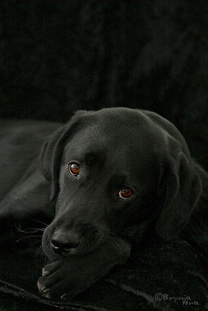 beautiful black lab