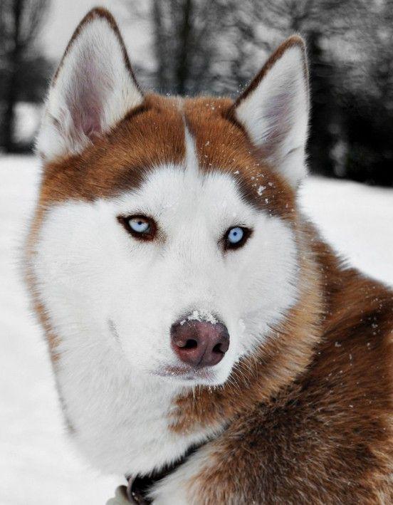Beautiful red Siberian Husky