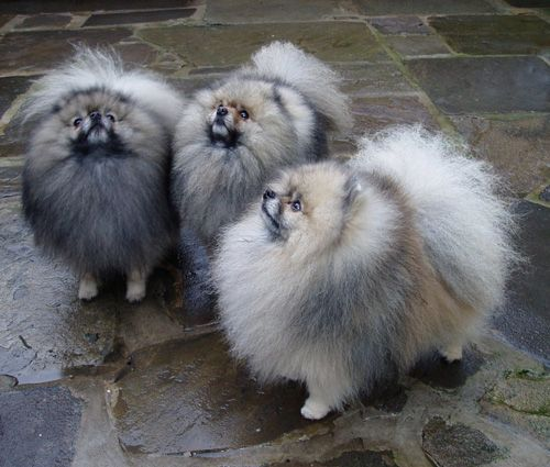 Beautiful Wolf Sable Poms!