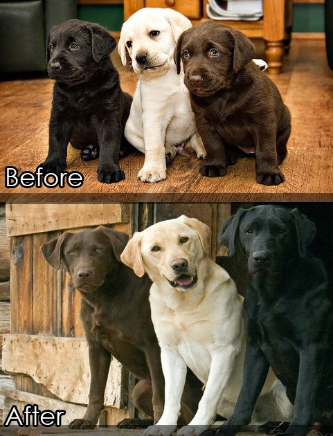Before and After. Lab Puppies Grow Up.
