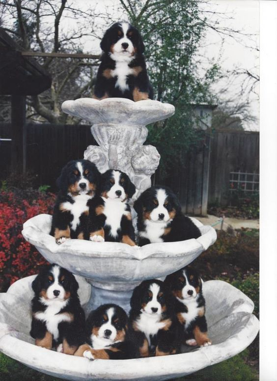 Bernese Mountain Dog Puppies. A cascade of puppies.