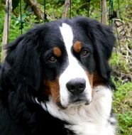 bernise mountain dog ...