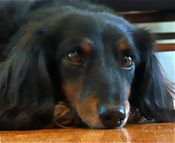 black and tan long haired dachshund   LUCY is a nine pound, black-and-tan, long-haired miniature dachshund ...